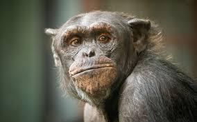 「猿ゴリラチンパンジー」の画像検索結果