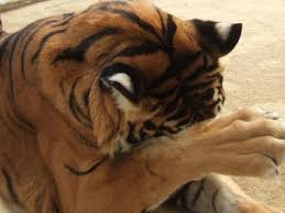 of a tiger essay tears of a tiger essay