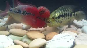 Flowerhorn Cichlid Care Size Lifespan Tankmates Feeding