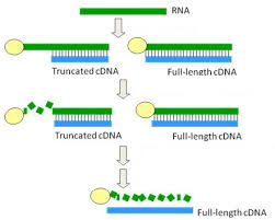 Full Length Cdna Library Construction Service Creative Biogene