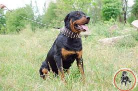 walking wide leather dog collar for rottweiler