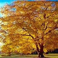 Kentucky coffee tree is a medium tree with stout, blunt branches forming a narrow, rounded crown. Kentucky Coffee Tree