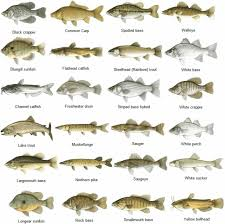 Nc Saltwater Fish Identification Chart Nc Saltwater Fish Identification Related Keywords