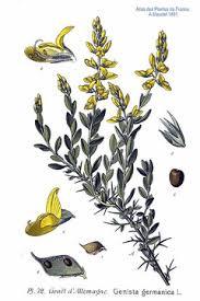 Genista germanica PFAF Plant Database