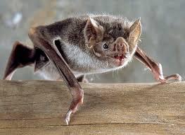 Bat Species Chart Common Vampire Bat Wikipedia