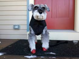 dog in winter coat and boots
