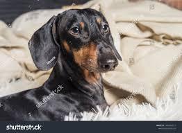 Portrait Dog Breed Dachshund Black ...