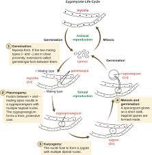 mycelial form fungi microbiology