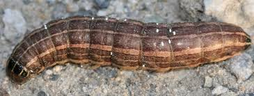 Cutworms Fact Sheet Unh Extension