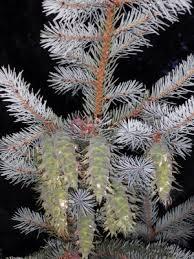 Pseudotsuga menziesii - Michigan Flora