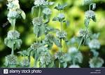 Images & Illustrations of common horehound