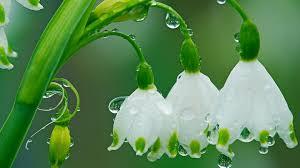 spring flowers drops of rain hd