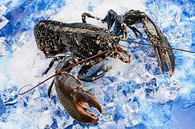 Live Brittany Blue Lobster (5 days Pre ...