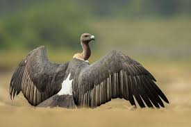 Asian white backed vulture
