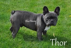 black french bulldog full grown. Exellent Black Thor All Grownup Intended Black French Bulldog Full Grown D