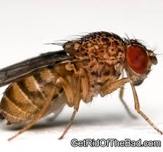 How to rid of fruit flies Get Rid The Bad