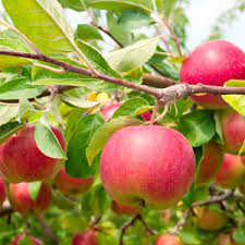 Apple Activities Ripe For PickingMedley Fruit Tree