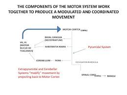 the ponents of motor system work together to produce a modulated and coordinated movement extrapyramidal motor