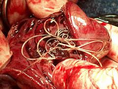 natural heartworm treatment. The Heartworm Has 5 Separate Larval Stages Referred To Simply As L1, L2, L3, And So On. It Also Two Cycles Which Have Be Combined Makeup Natural Treatment N