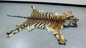 genuine tiger skin rug with full head elegant and faux small contemporary good for real white