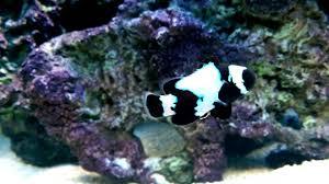 black phantom clownfish. Beautiful Clownfish Black Phantom Clownfish Inside A