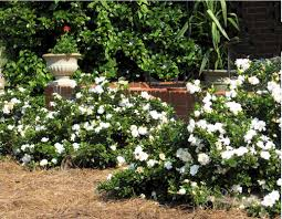 gardenia is an easy care broadleaf evergreen hybrid in a versatile dwarf size and requires little if any pruning to stay in shape this garden jewel