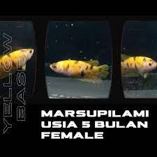 Ikan Cupang Plakat - Yellow Base Marsupilami (Female), Perlengkapan Hewan,  Aksesoris Hewan di Carousell