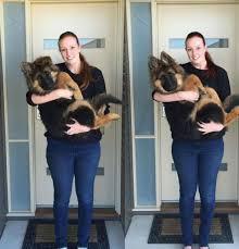 Series Of Photos Chart German Shepherd Puppys Insane Growth