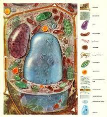Растительная клетка Схема строения растительной клетки