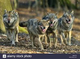 gray wolf pack in forest. Simple Forest European Gray Wolf Canis Lupus Lupus Pack Walking Through A Forest  Germany Lower Saxony Intended Gray Wolf Pack In Forest