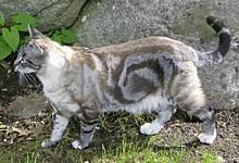 Tabby Patterns New Tabby Cat Wikipedia