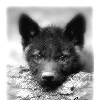 black wolf and white wolf pups. Interesting Pups Black And White Wolf Pup Photo Liberty_wolf Cwcwolfpup1 Inside Black Wolf And White Pups