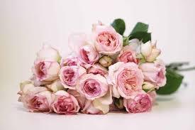 rose carmeline spray rose with fragrance perfume rose pink rose pink garden