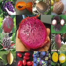 Lotus Fruit Trees  Rare Tropical Fruit Trees Registered Florida Lotus Fruit Tree