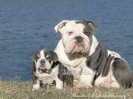 blue tri english bulldogs