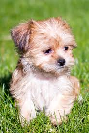 shorkie shih tzu yorkshire terrier mix