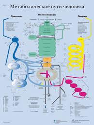 Metabolic Pathways Chart Human Metabolic Pathways Chart