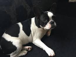 black and white french bulldog. Exellent French 6 Month Old Female French Bulldog Pied Black U0026 White To Black And White Bulldog C