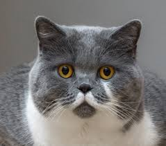 british shorthair breed facts and