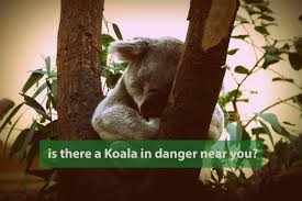 koala in danger n koala foundation fact meaningful legislation is the only way to protect koalas