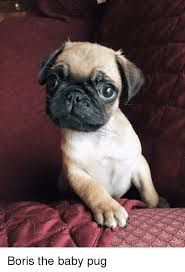 Pug Puppies Memes Pugs And Boris The Baby Pug Funny Boris The Baby Pug Meme On Meme