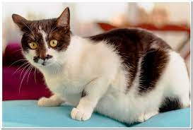 average male domestic cat weight best
