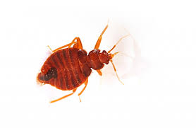 Get Squished Red Bed Bugs Pictures