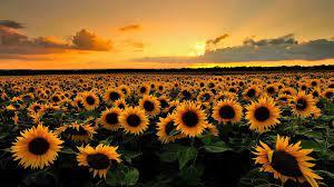 desktop backgrounds sunflowers Download ...