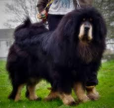 Angry Tibetan Mastiff Lion Dog (Page 1 ...