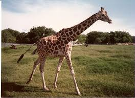 pictures of a giraffe. Interesting Pictures Birth Of A Giraffe Attended By Vultures Throughout Pictures Of A Giraffe