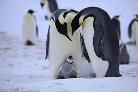real baby penguins pictures. Simple Pictures Natureu0027s Most Devoted Parents Two Emperors Gaze Down Lovingly At Their  Chick To Real Baby Penguins Pictures F