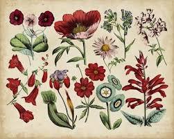 Botanical Chart Print Antique Botanical Chart I