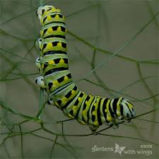 Black Caterpillar Identification Chart Identify Caterpillars By Pictures And Where Do Caterpillars