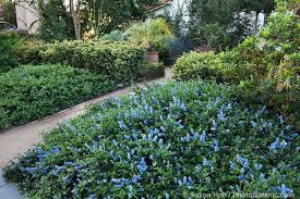 california native plants for the garden. Entry Path Between Ceanothus Groundcovers In Southern California Front Yard Native Plant Garden Plants For The A